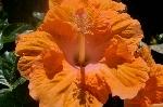 Hybiscus arancione